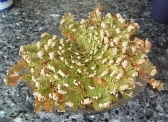 Rose of Jericho | Care potted flower magic