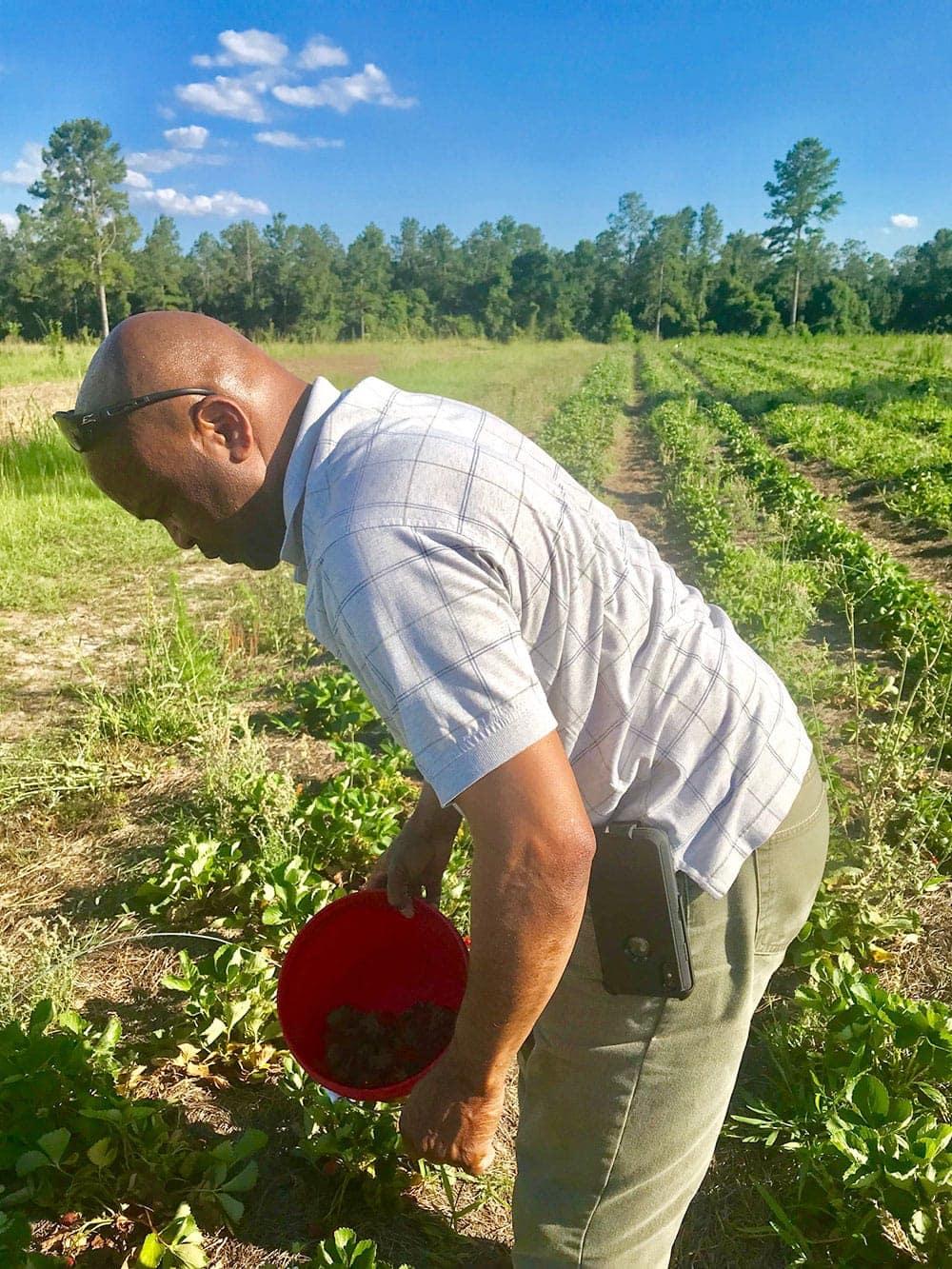 Hubby picking strawberries for vegan strawberry pie