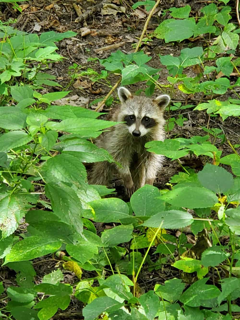A curious young raccoon peers in on GLSC researchers as they walk through a wetland in Ohio on the way to a study site.