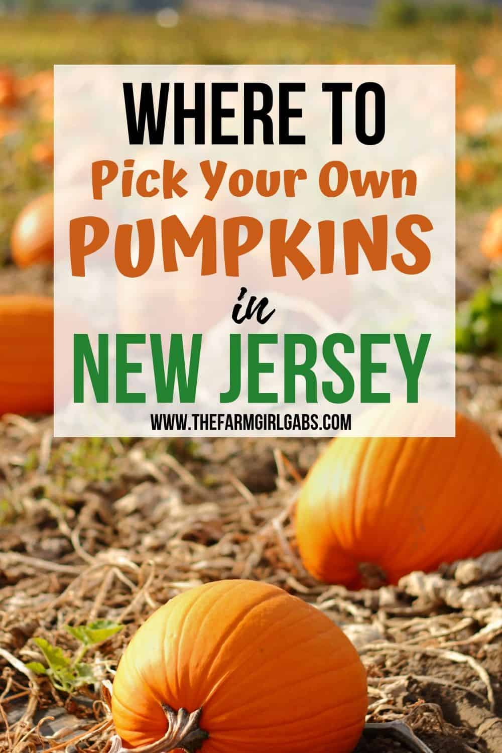 Find Your Perfect Pumpkin at one of these New Jersey Pumpkin Patches. Take the family out for some fall fun and pick your own pumpkins in New Jersey. You will have a blast pumpkin picking at one of the New Jersey Farms #Halloween #Halloweencraft #pumpkinpatch #pickyourownpumpkins