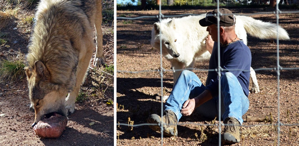 A wolf at the Colorado Wolf & Wildlife Center eating a piece of meet, and a trainer with a huge white wolf.