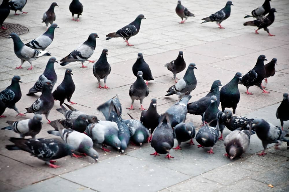 What do you need to know about pigeon birth control