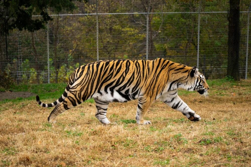 Chuff Tiger