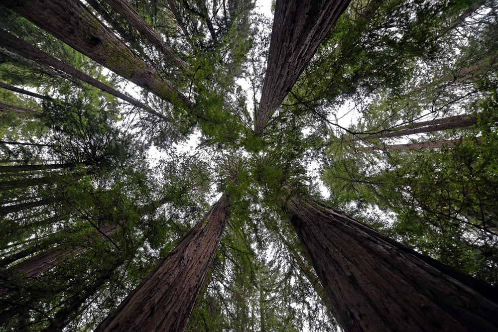Looking up at the top of the giant red woods in Muir Woods
