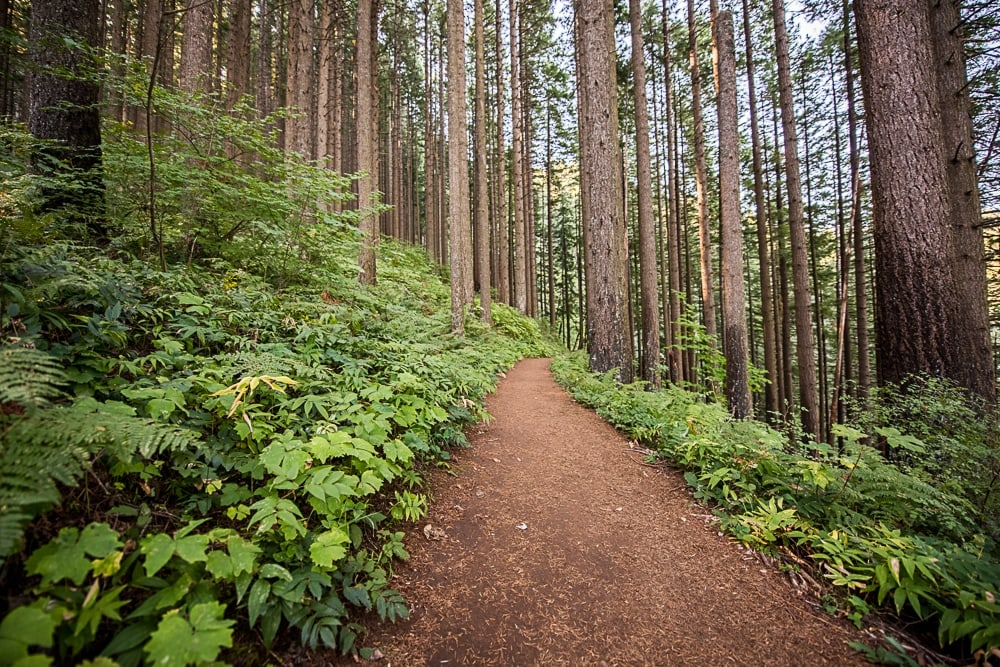 Beautiful large trees and clean open trail surrounded by green vegetation on the Wahkeena Trail