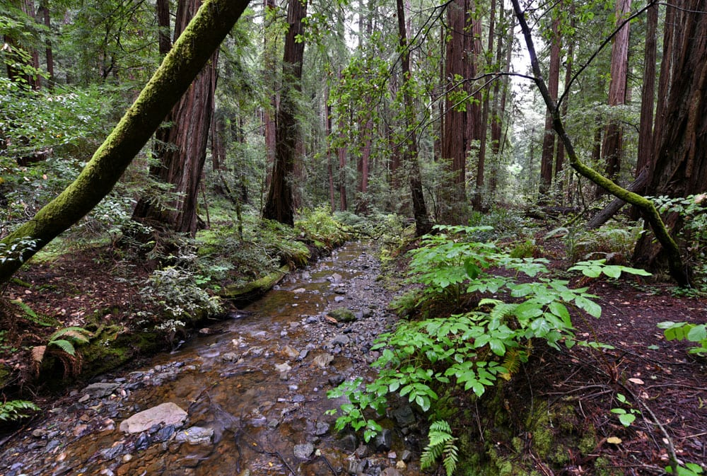 Muir Woods Stream