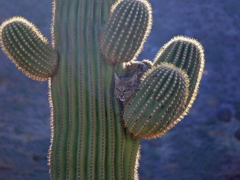 Bobcat Up A Saguaro.