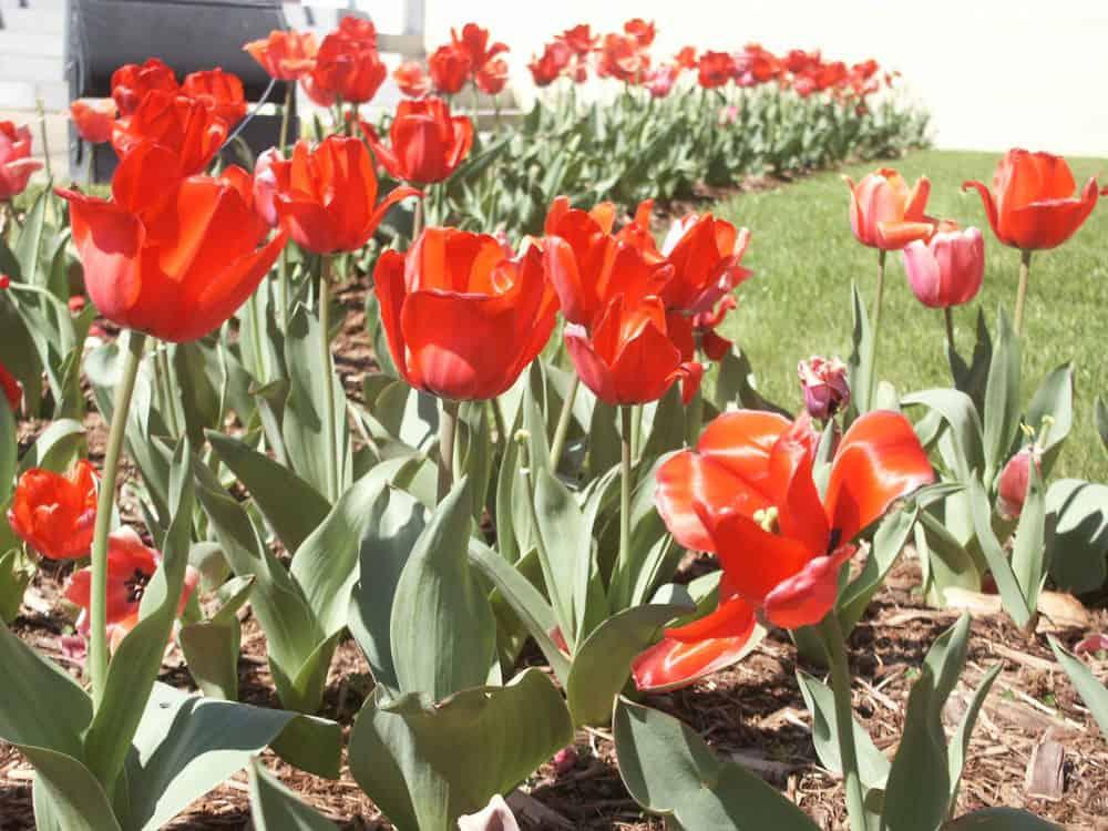 Tulips.  Photo: NPS