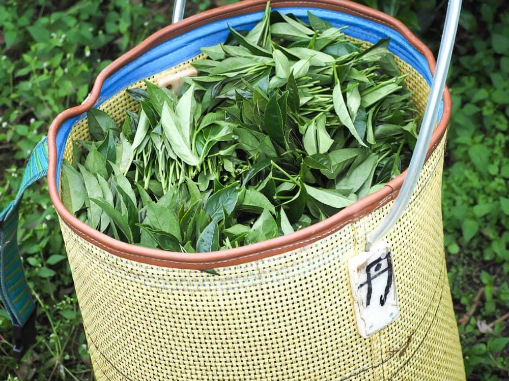 Alishan high mountain oolong tea leaves