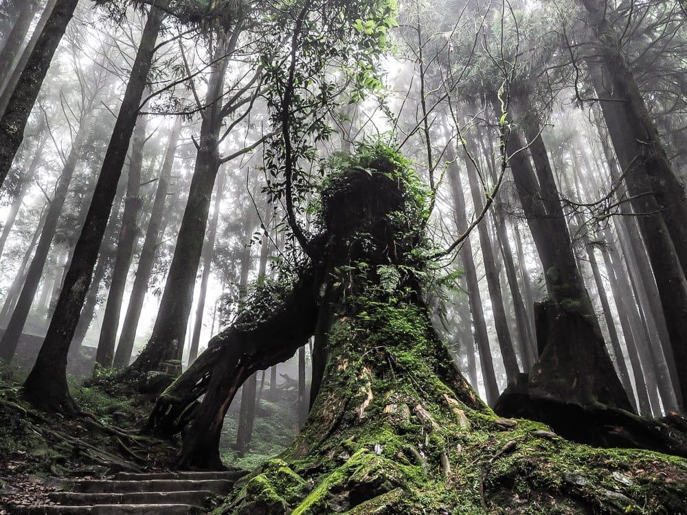 The main tourist trail through the forest of giant cypress trees in Alishan National Scenic Area, Taiwan