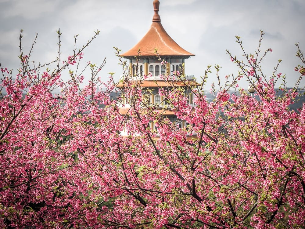 Cherry blossom viewing is one of the best winter activities in Taipei
