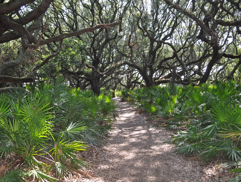 Trees and palm fronds lining one of the trails on Cumberland Island.