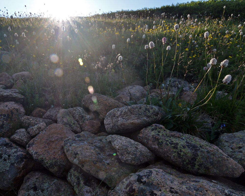 Flowers growing through the rocks while the sun rises at Mt. Bierstadt