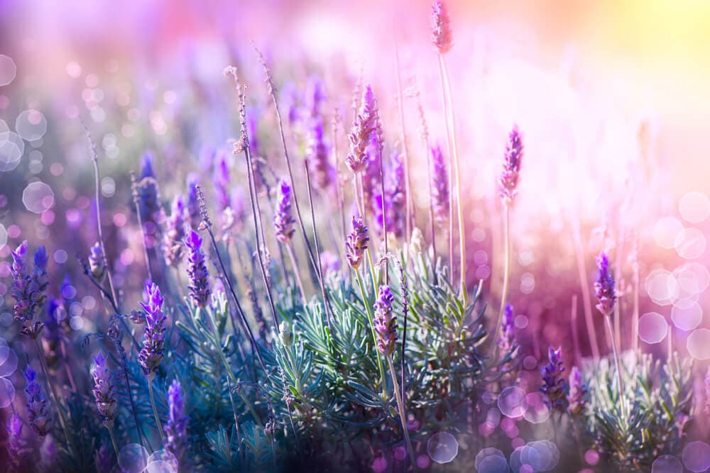 lavender - scented flowers