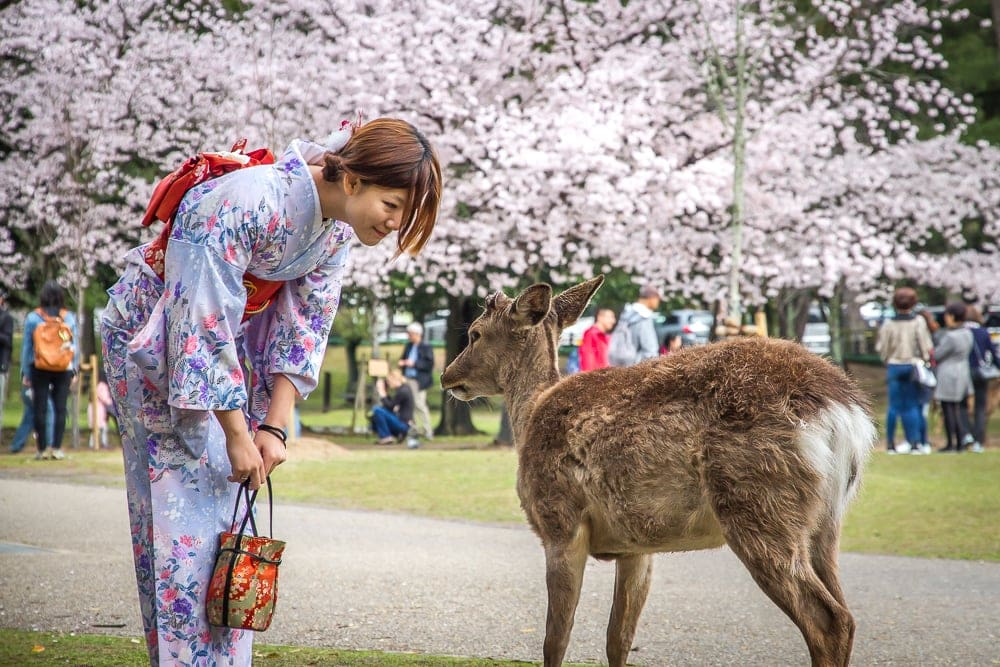 Nara deer and cherry blossoms