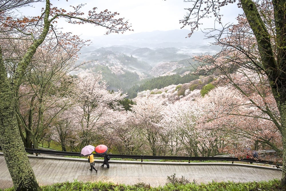 Mount Yoshino cherry blossoms