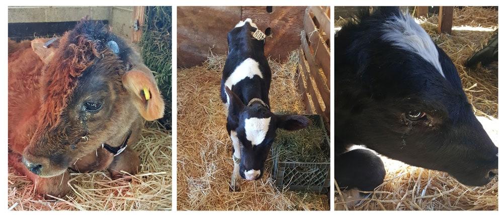 Cows at Broken Shovels Farm