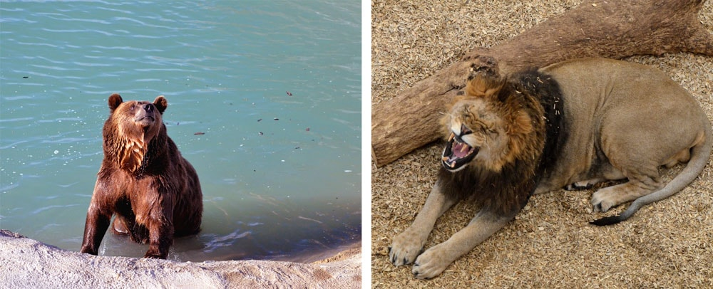 A rescued bear playing in his personal lake and a lion at the Wild Animal Sanctuary