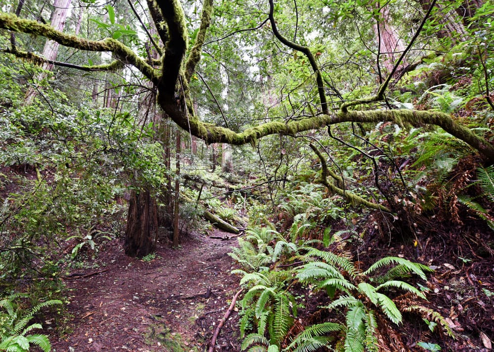 Trail in Muir Woods with moss covered branches