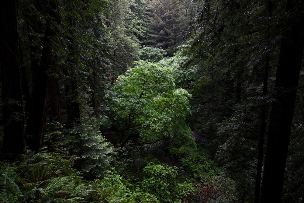 Trees growing in a valley in Muir Woods