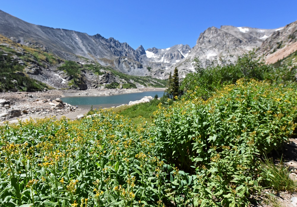 Flowers growing along the trail to Lake Isabelle