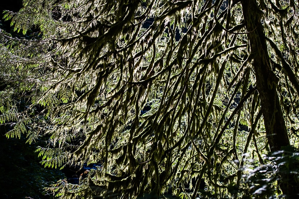 Moss covered tree branches with the sun shining through them
