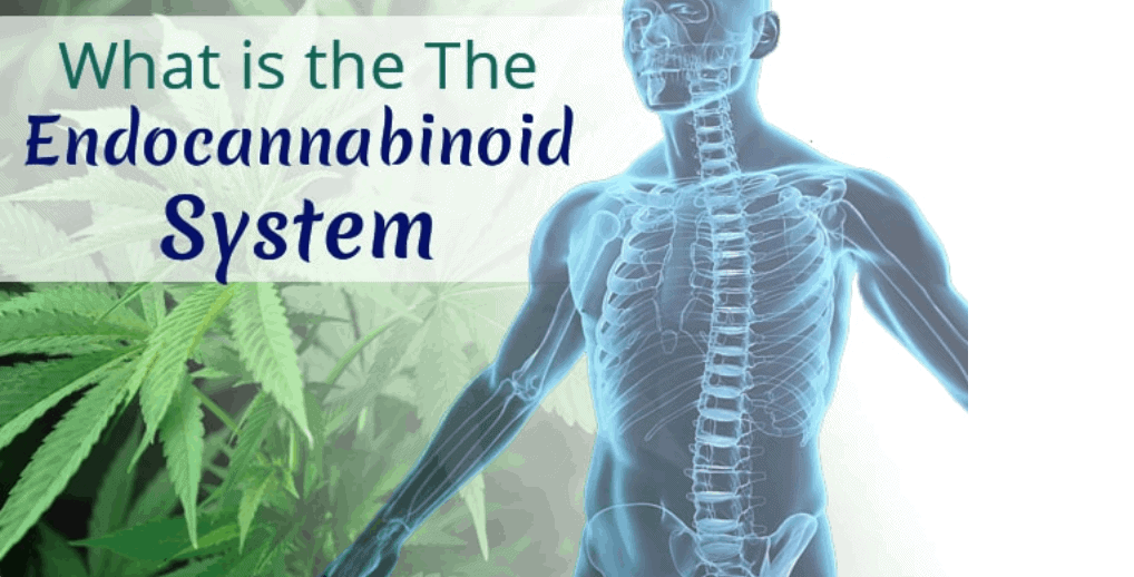 An image of Endocannabinoid system