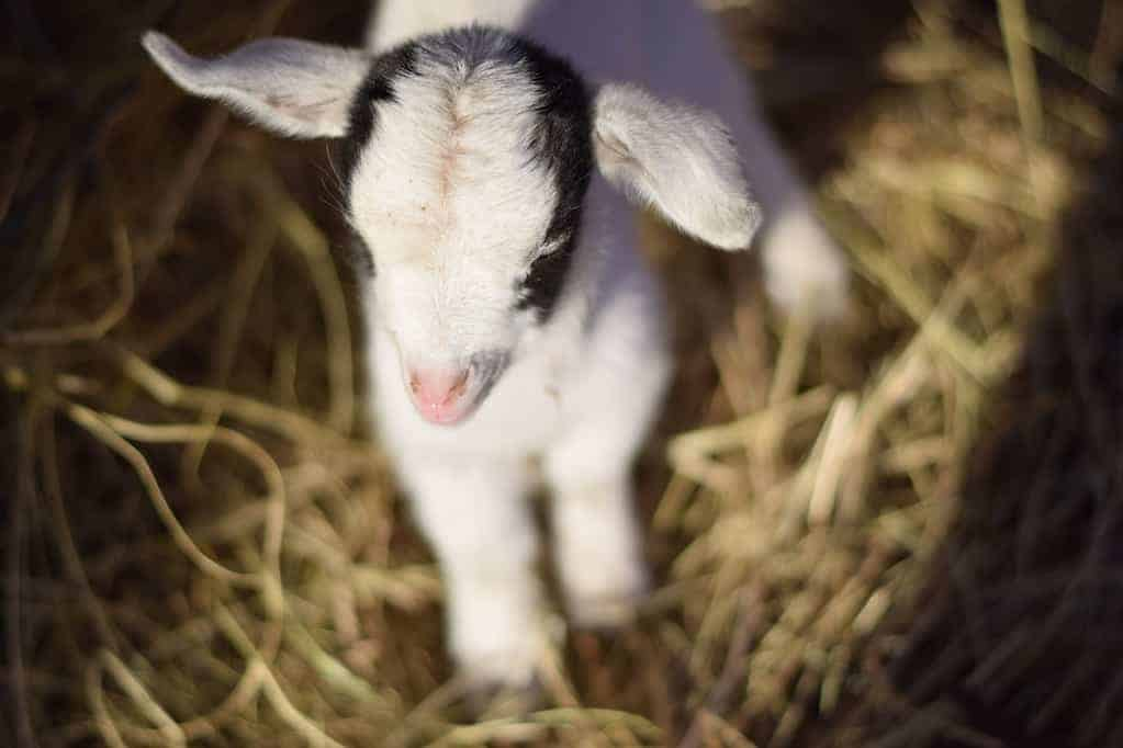 newly born baby goat standing on hay bedding.