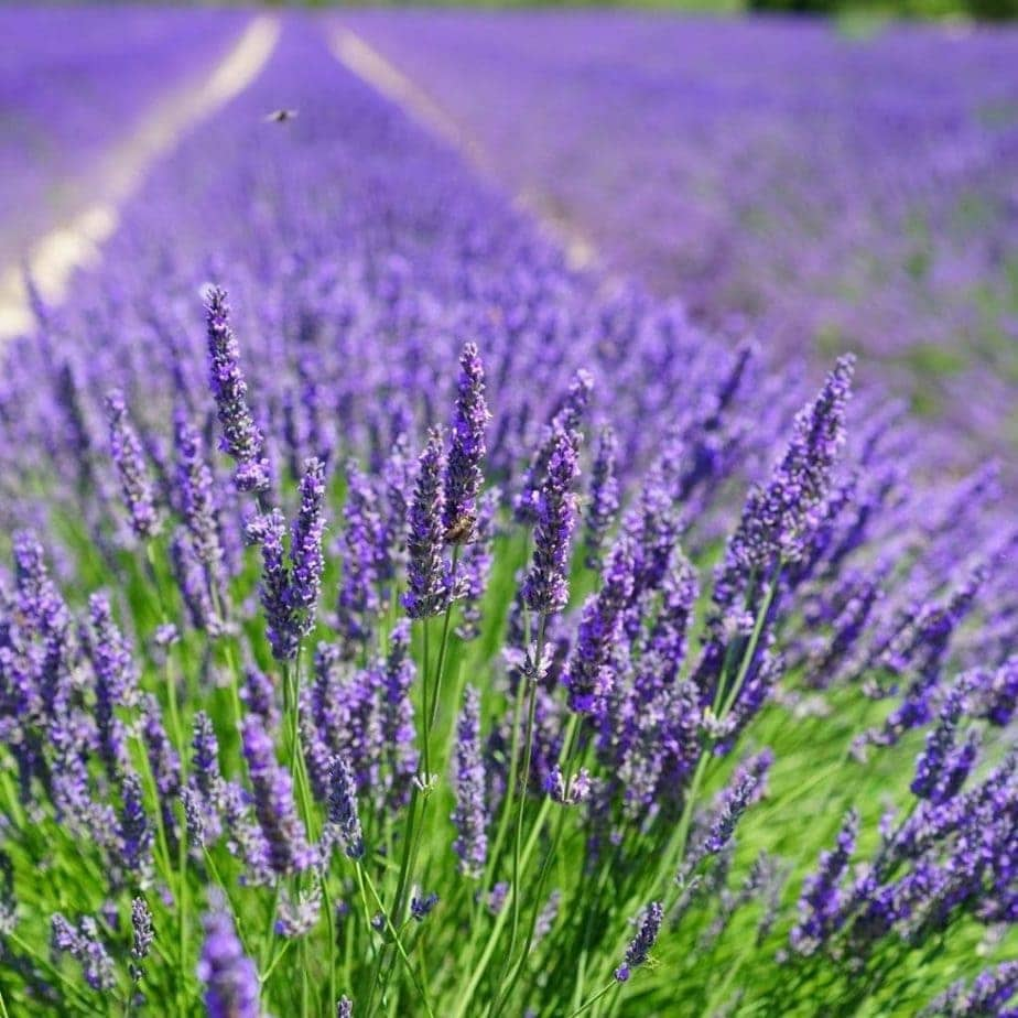 Field of English Lavender - is lavender edible?