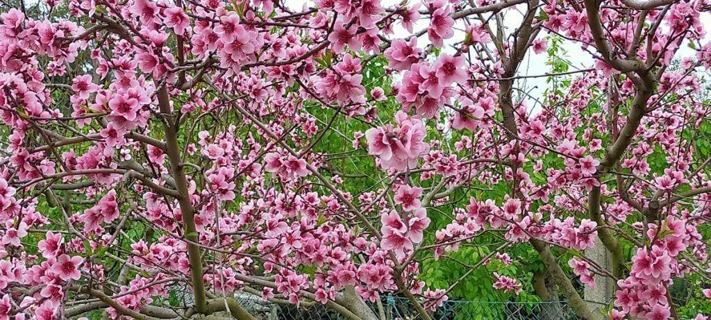 flor de melocotonero
