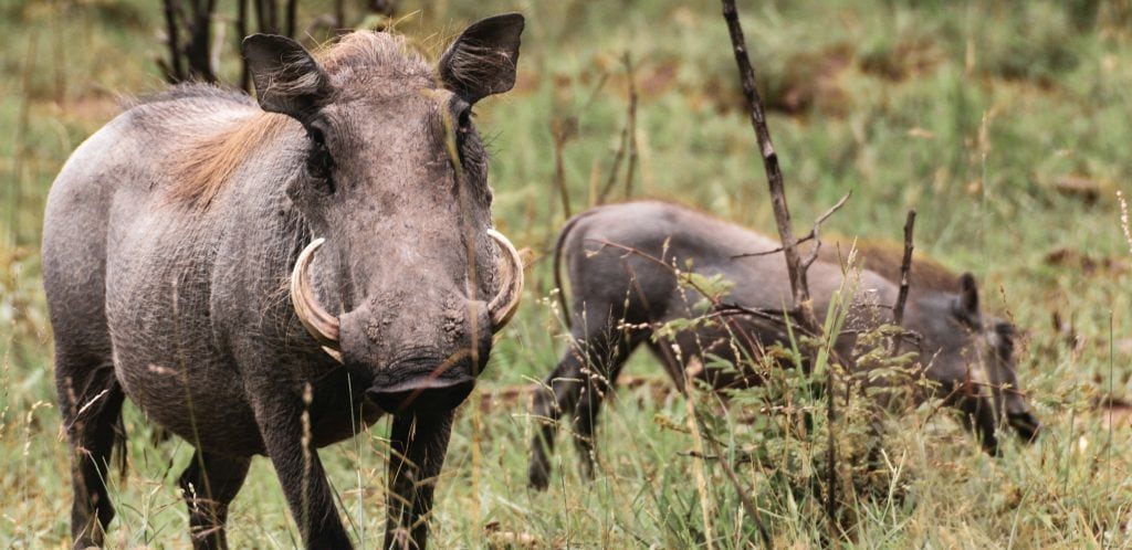 close up of a warthog with two tusks seemingly coming out of its nostrils