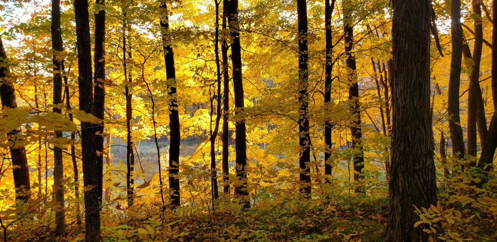 trunks of trees are silouetted against fall colors of maple leaves on WI pilgrimage