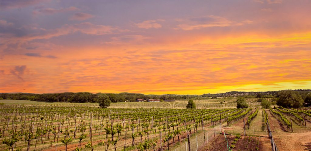 Sun sets over grapes growing in Texas