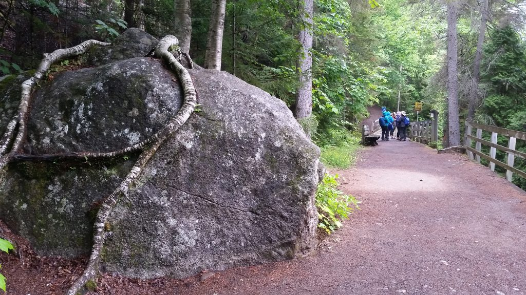 glacial eratic boulder with aspen roots on tatue Trail at Saguenay Fjord National Park