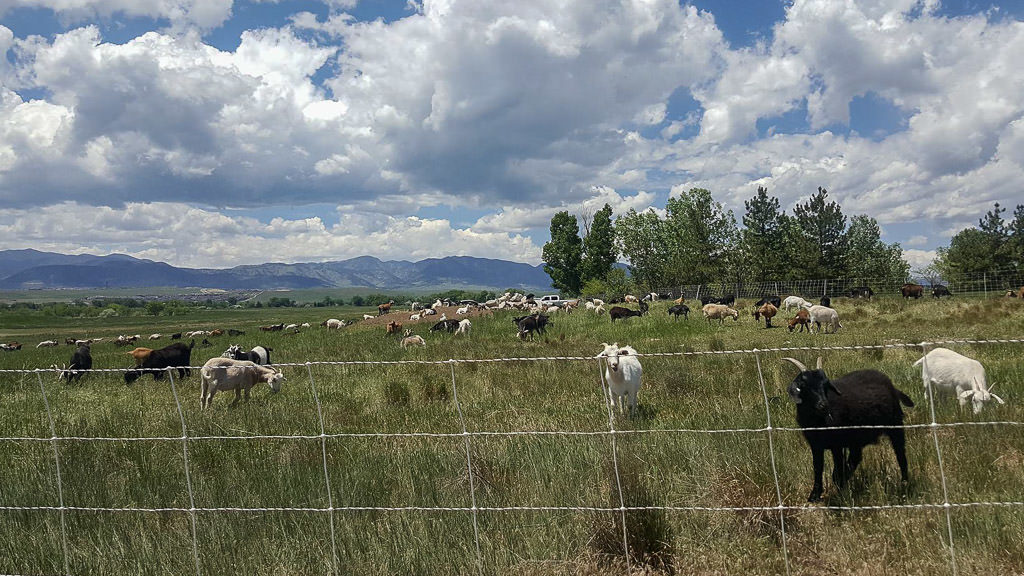 Goat herd that is part of summer grass control at standley lake