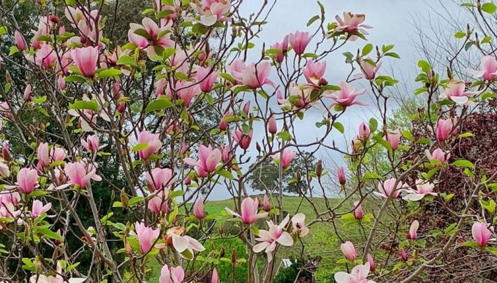 TG Portwine Magnolia