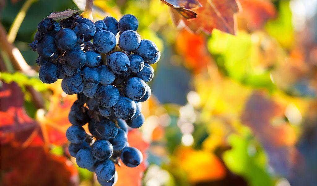 La vendimia indica la llegada del otoño
