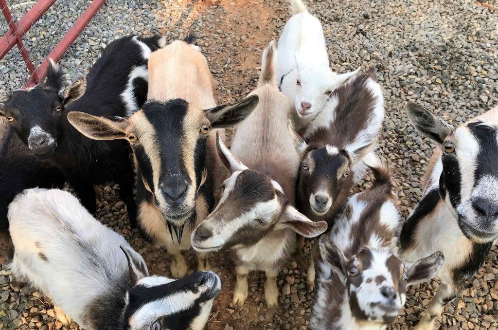 Baby Nigerian Dwarf Goats for Sale - Seven Gables Farm VA