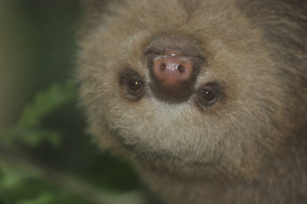 Volunteer with sloths Costa Rica, NATUWA Sanctuary.