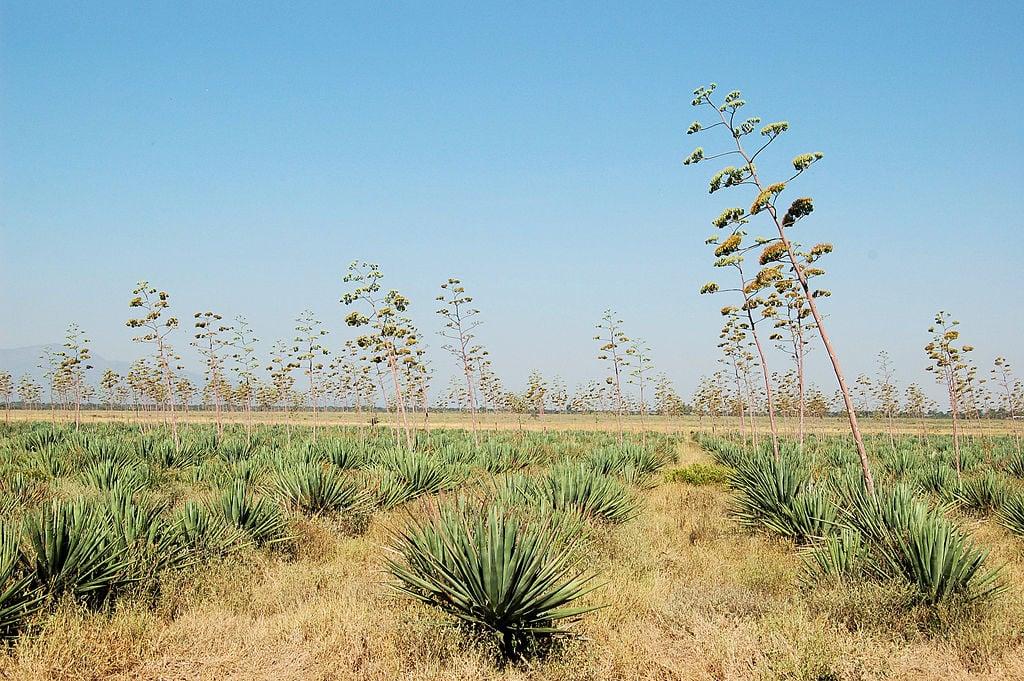 Image: Sisal fields on sunny day