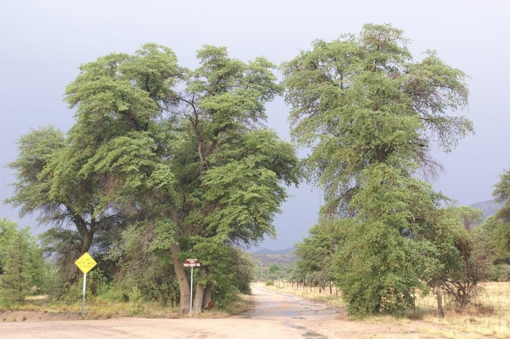 dirt road goes between two tall trees on way to ranch vacation