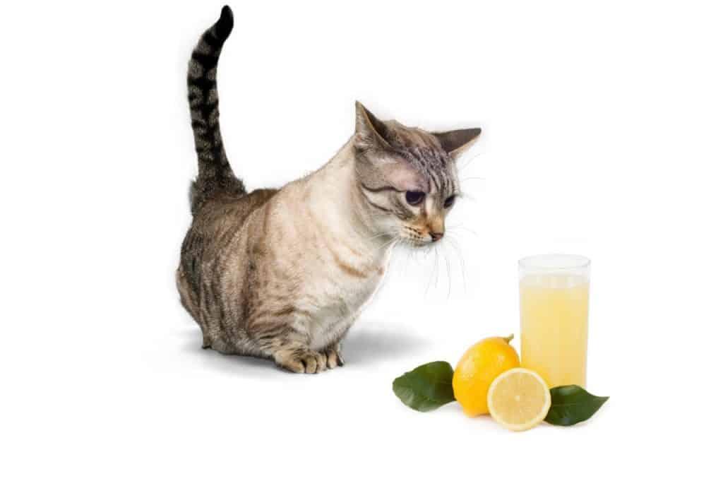 Can Cats Have Lemon Juice