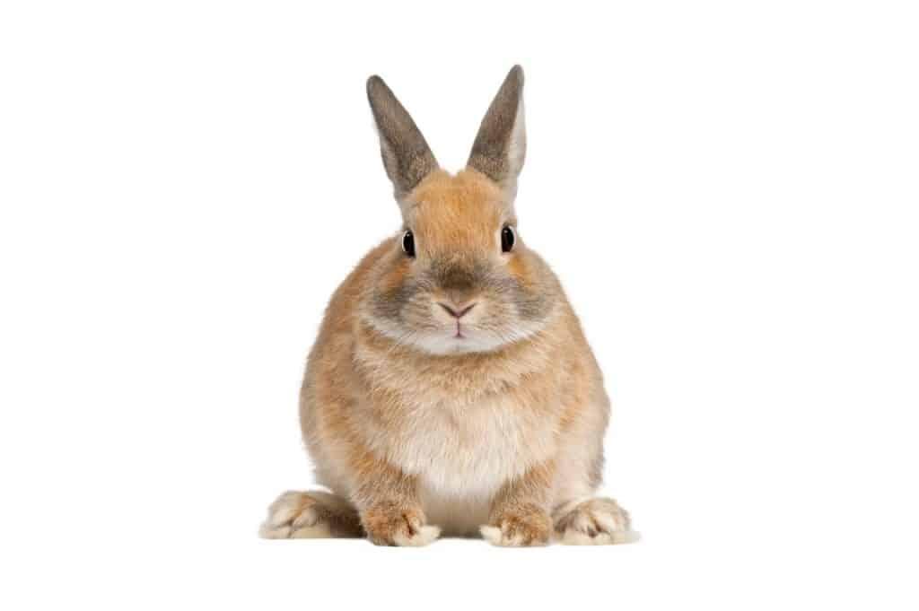 Do Rabbits Understand English