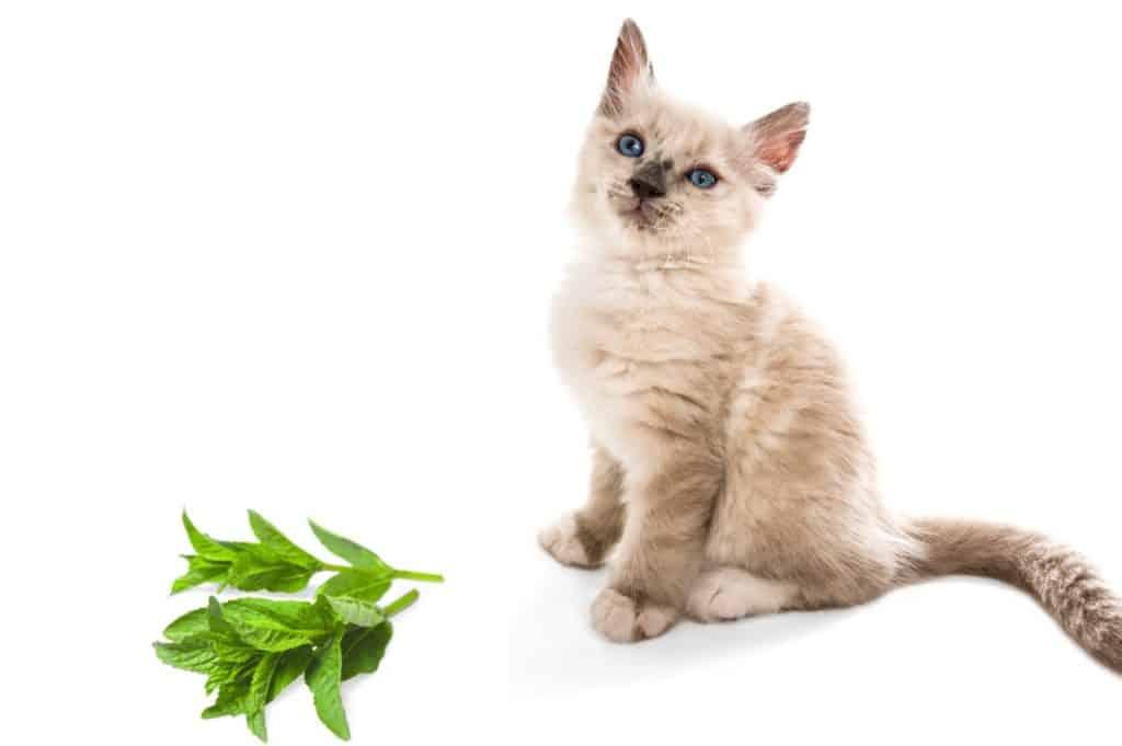 Why Do Cats Like Mint