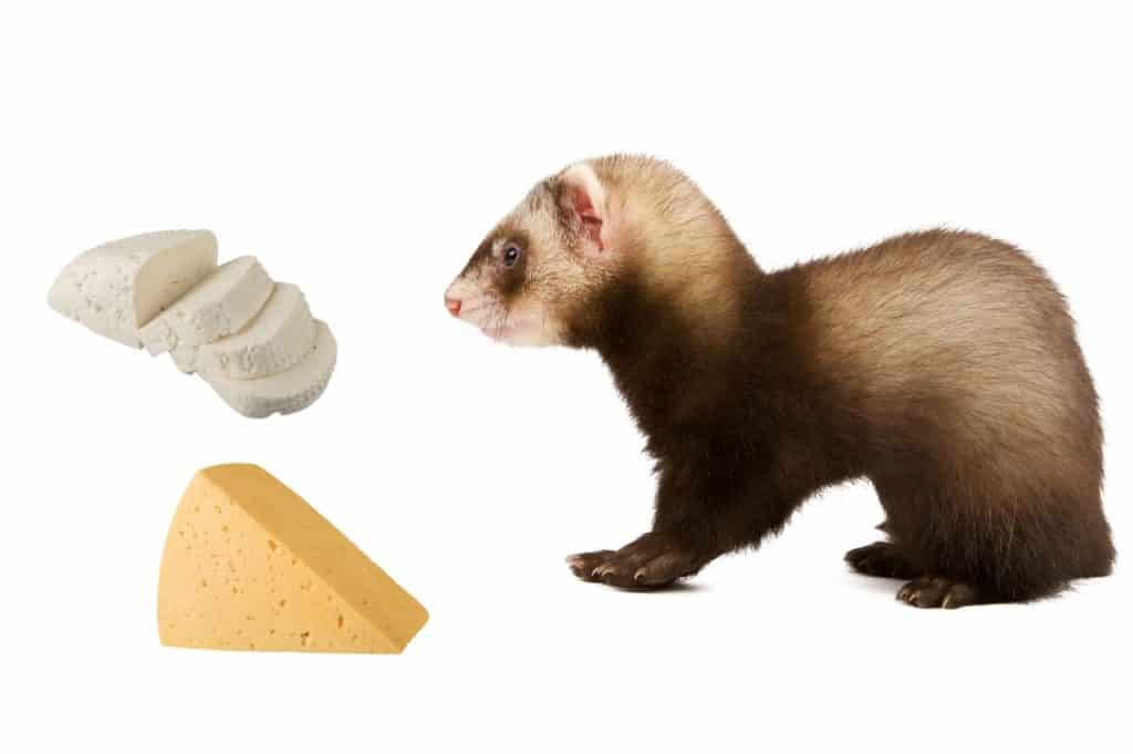 Can Ferrets Eat Cheese