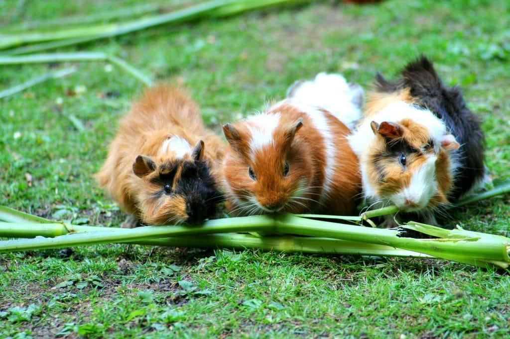 Can Guinea Pigs Eat Chinchilla Food