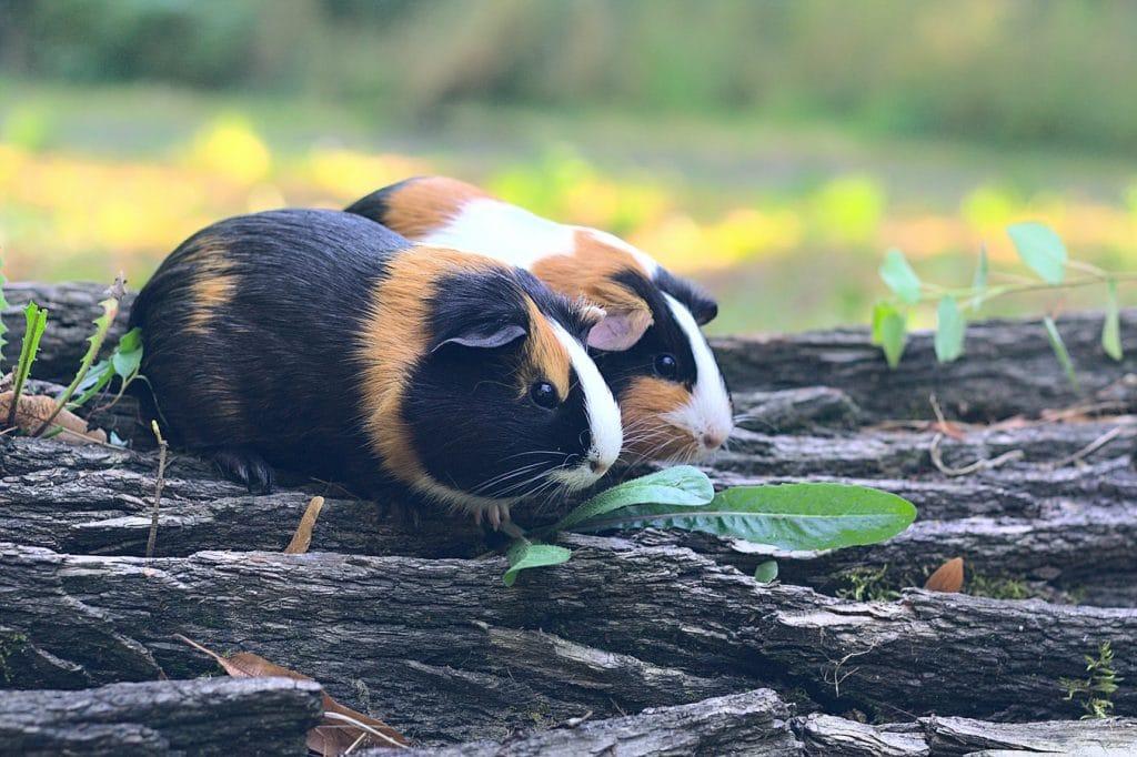 Should I Get My Guinea Pig A Friend