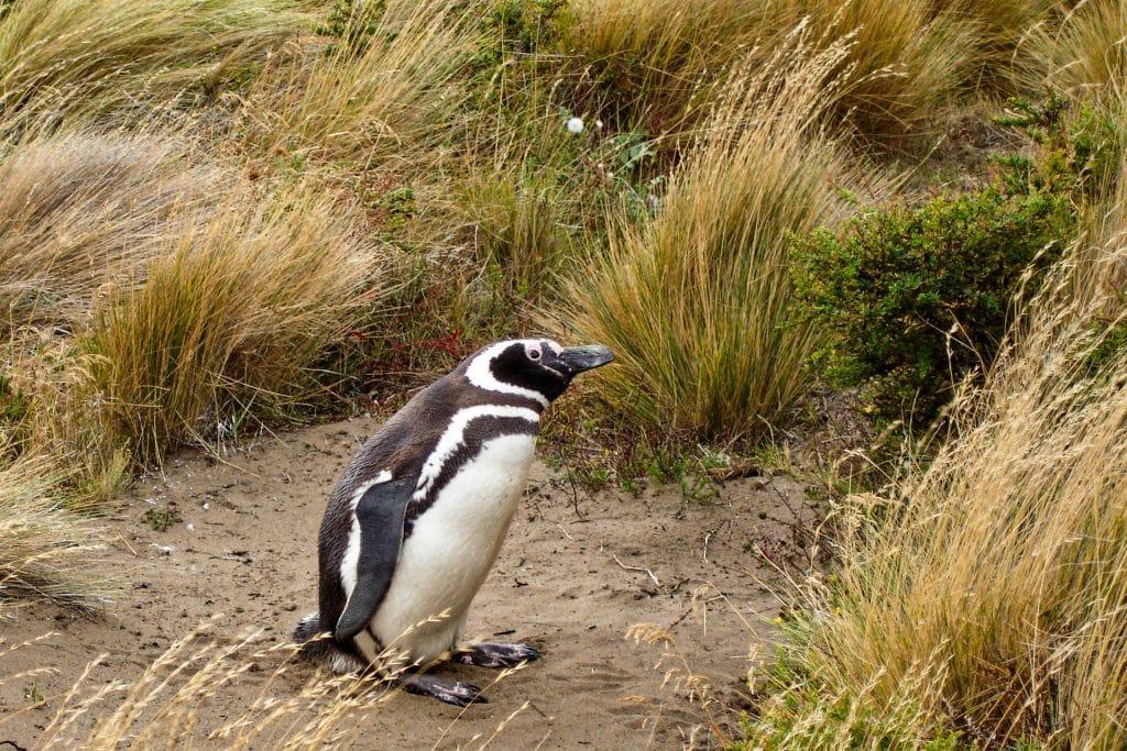 Isla Santa Magdalena, Punta Arenas, Chile