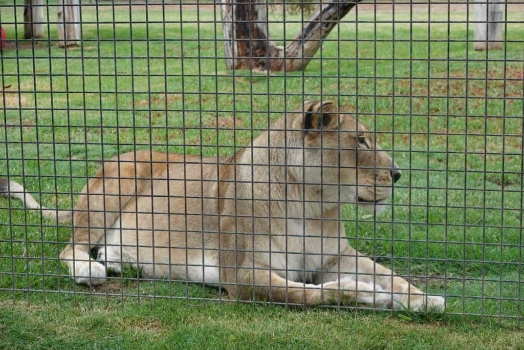 Hunter Valley Zoo lion