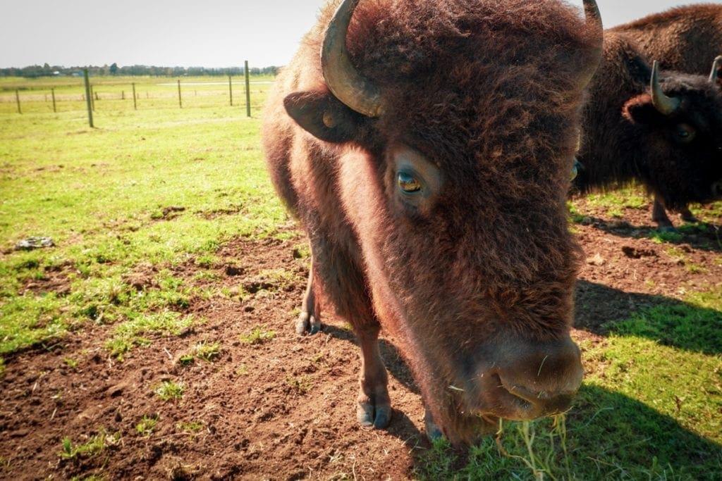 American Bison Morpeth